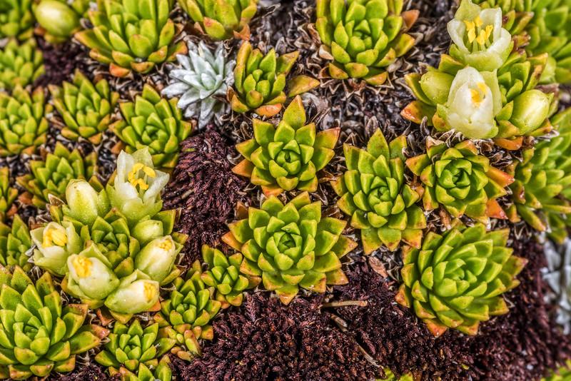 Hectorella caespitosa. Gertrude Saddle, Fiordland National Park.