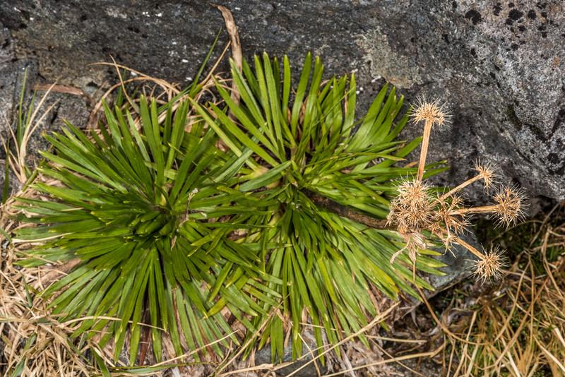 Aciphylla congesta. Black Lake, Gertrude Valley, Fiordland National Park.