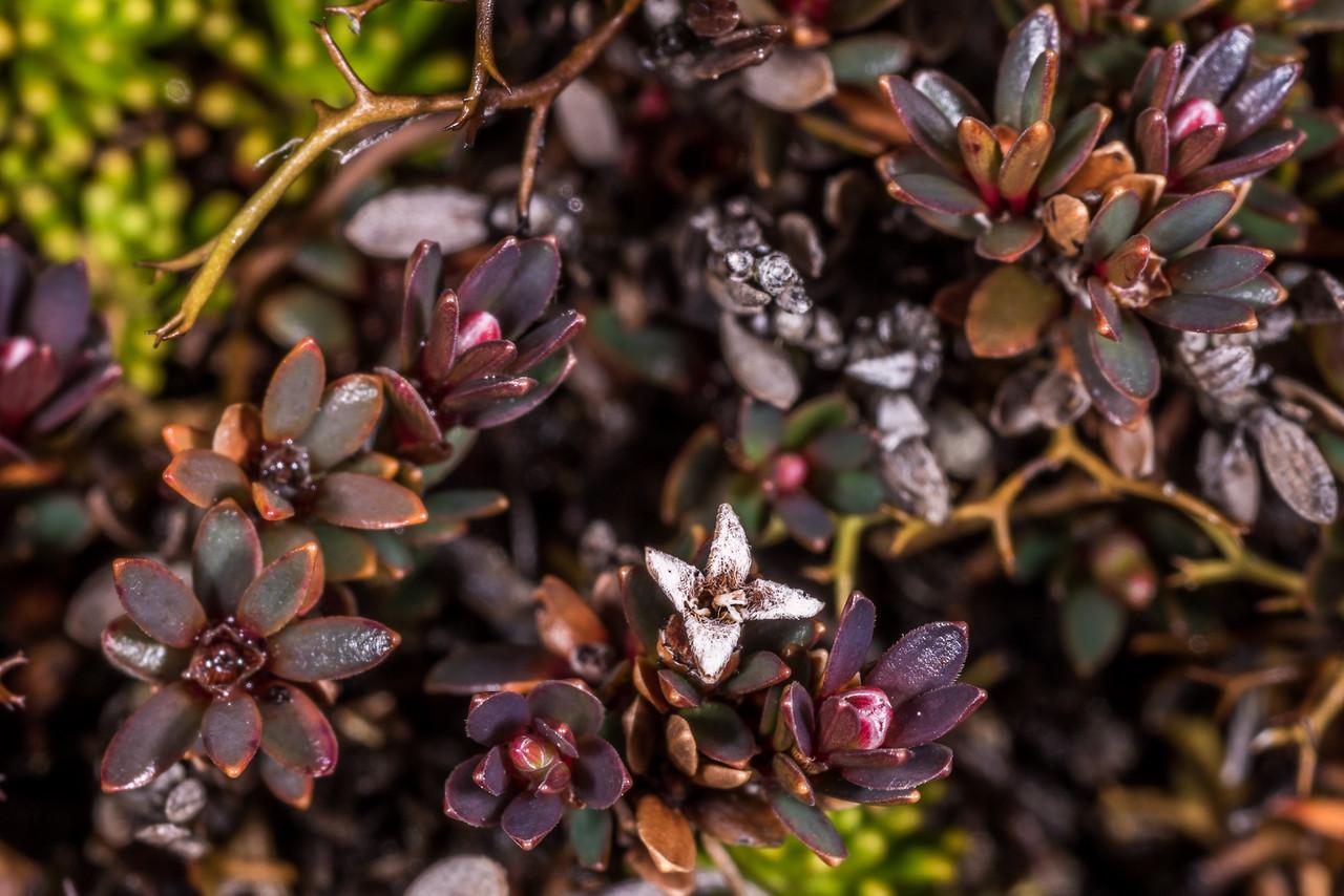 Little mountain heath (Pentachondra pumila). Mount Luxmore, Fiordland National Park.