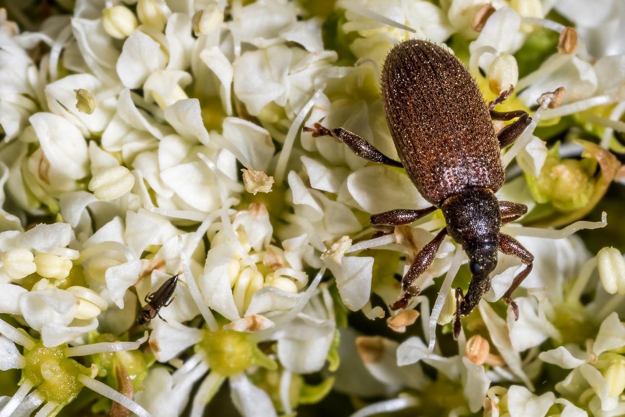 Weevil (Eugnomus spp.) feeding on Aciphylla crosby-smithii. Mount Luxmore, Fiordland National Park.