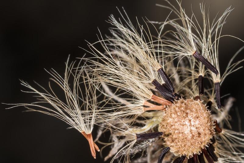 Mouse-ear hawkweed (Pilosella officinarum). Iris Burn, Kepler Track, Fiordland National Park.