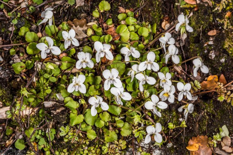 Forest violet (Viola filicaulis). Iris Burn, Kepler Track, Fiordland National Park.