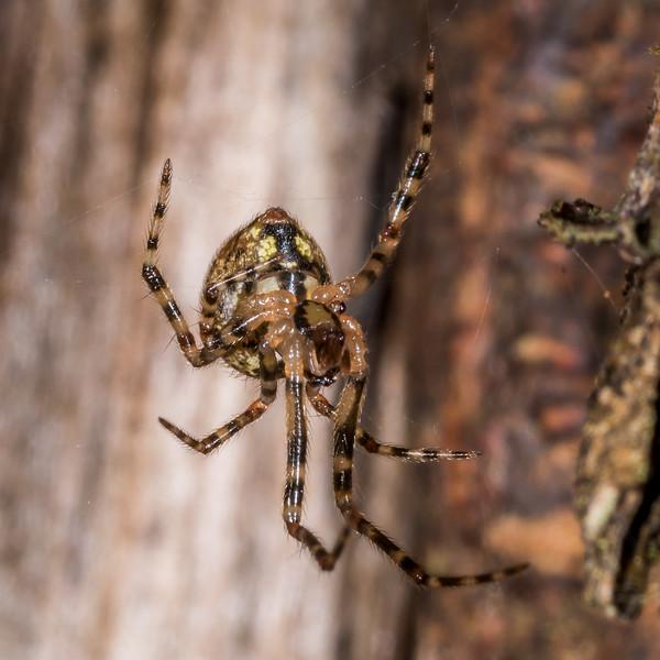 Cobweb spider (Theridion zantholabio). Shallow Bay, Lake Manapouri, Fiordland National Park.