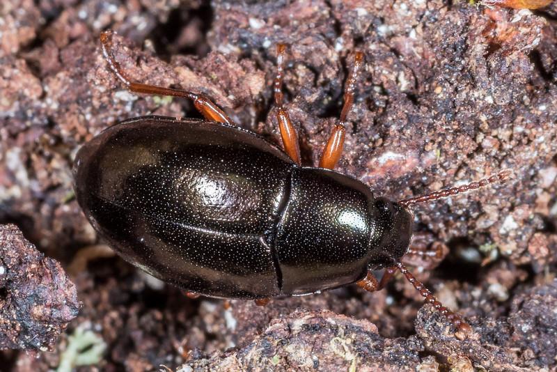 Darkling beetle (Cerodolus manepouricus). Shallow Bay, Lake Manapouri, Fiordland National Park.