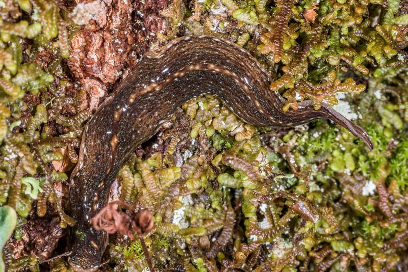 Planarian (Newzealandia spp.) on beech tree trunk. Iris Burn Hut, Kepler Track, Fiordland National Park.