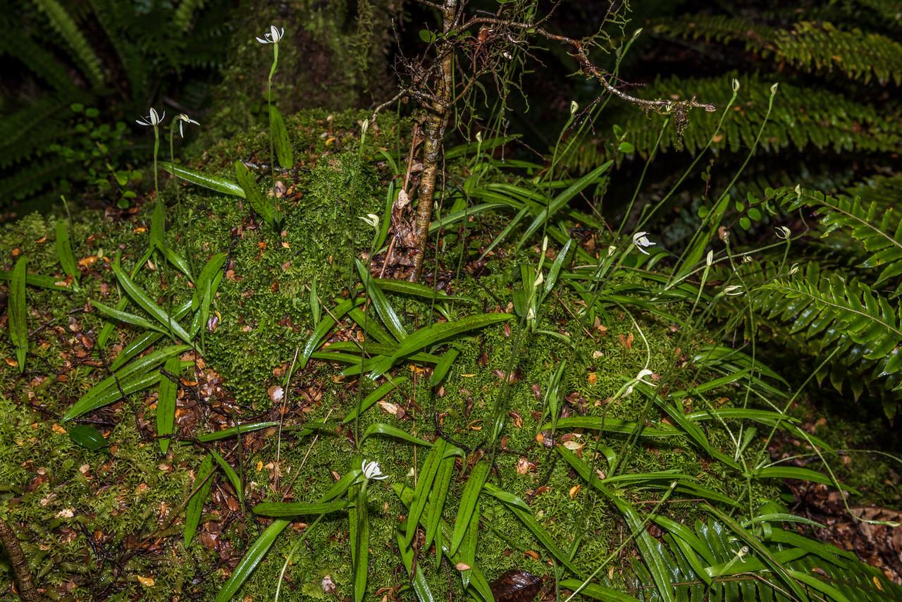 Odd-leaved orchid (Aporostylis bifolia). Kepler Track above Brod Bay, Fiordland National Park.