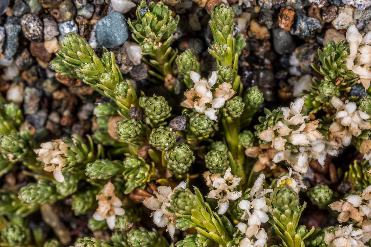 Kelleria dieffenbachii. Mount Luxmore, Fiordland National Park.