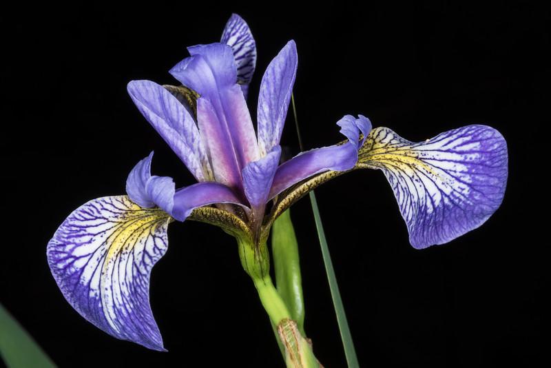 Harlequin Blueflag or Blueflag Iris (Iris versicolor). Bensen Lake, George H. Crosby - Manitou State Park, Minnesota
