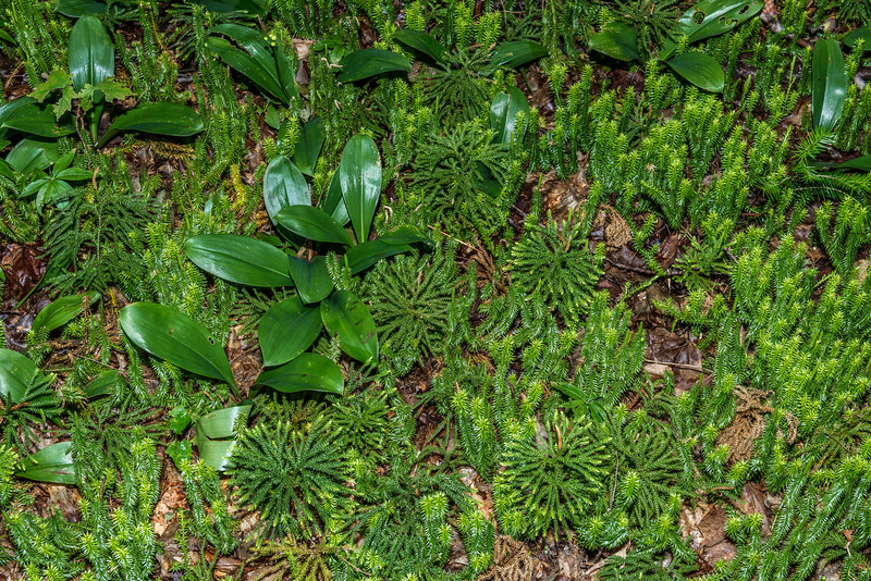 Clubmosses: Princess Pine or Round-branched Ground-Pine (Lycopodium dendroideum) mixed with stiff clubmoss (Lycopodium annotinum) or shining clubmoss (Lycopodium  lucidulum). George H. Crosby - Manitou State Park, Minnesota