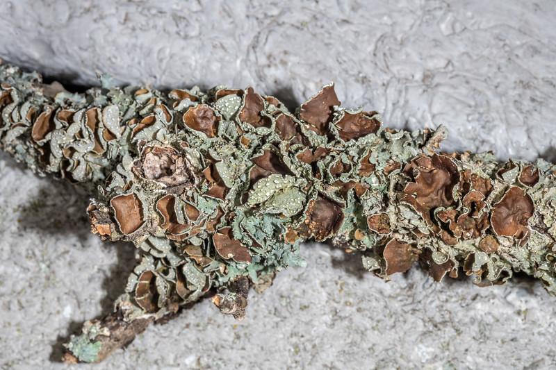 Crumpled rag lichen (Platismatia tuckermanii<br /> ). Wild River State Park, MN, USA.