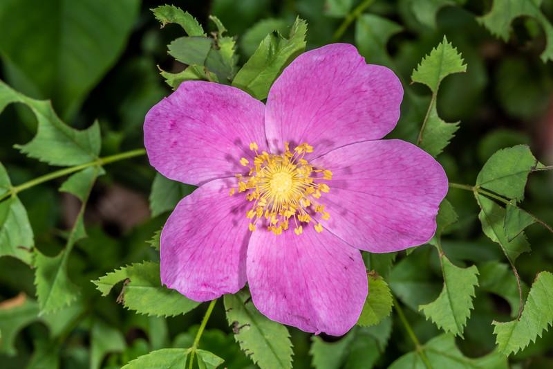 Wild rose (Rosa spp.). Wild River State Park, MN, USA.