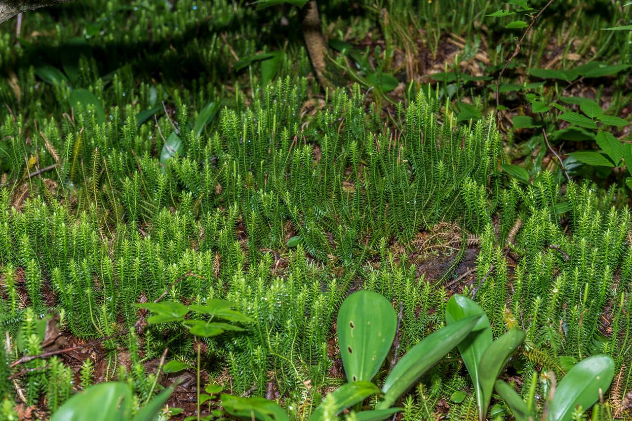 Stiff clubmoss (Lycopodium annotinum) or shining clubmoss (Lycopodium  lucidulum)? George H. Crosby - Manitou State Park, Minnesota