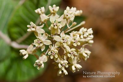 Pinewoods Milkweed