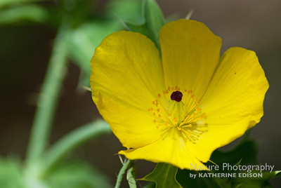 Yellow Prickly Poppy