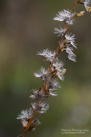 Blazing Star Fluff--End of Fall