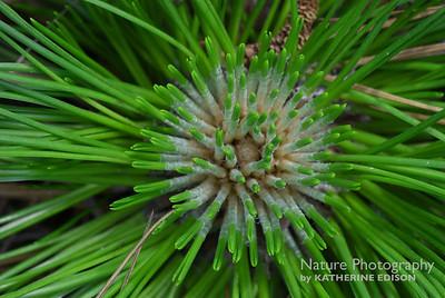 Longleaf Pine Bud