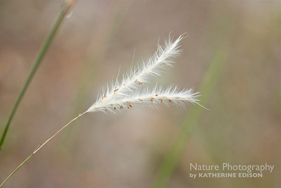 Split Beard Bluestem