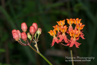 Fewflower Milkweed