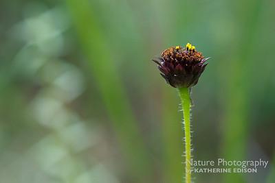 Rayless Sunflower