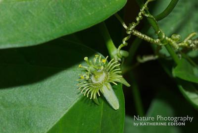 Corkystem Passionflower
