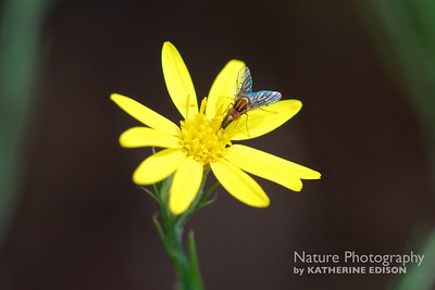 Hairless Bee-Fly on Silk Grass