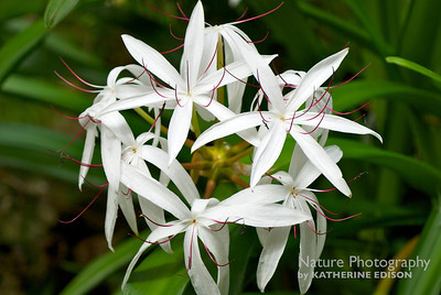 String Lily; Seven Sisters