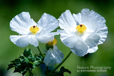 Bluestem Prickleypoppy