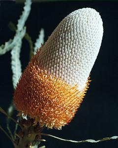 Protea-5 1