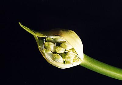 agapanthus bud -3