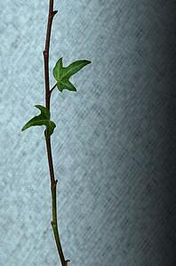 Ivy-19 1