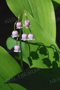 #913  Little bells adorn the pink Lily-of-the-Valley  every spring
