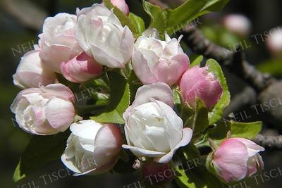 #074  Apple Tree blossoms