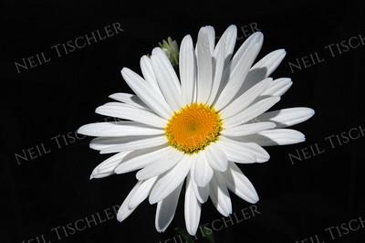 #602  Daisy
