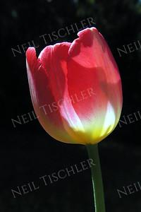 #024  Sunlight highlights a red Tulip