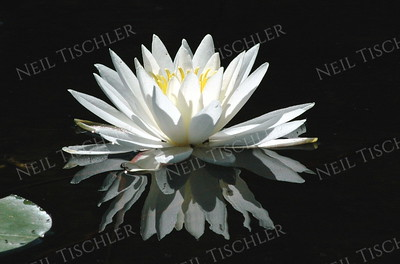 #365  Another beautiful Water Lily blossom with reflections