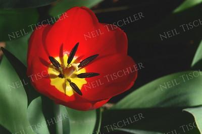 #861  Morning sunlight brightens this freshly opened Tulip