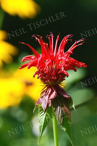 #854  Bee Balm, a native flower that attracts bees and hummingbirds