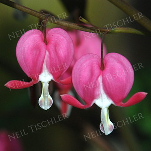#953  Bleeding Hearts add springtime color