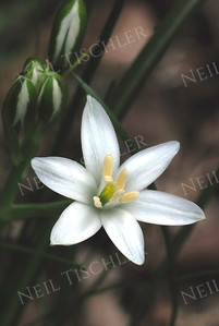 #660  Another delicate wildflower blossom, the Star of Bethlehem
