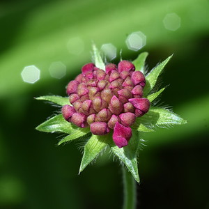 #1552  Budding Scabiosa flower