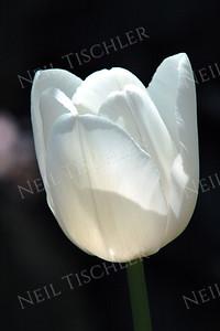 #574  A pristinely white Tulip