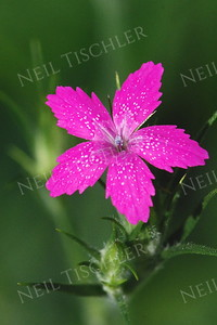 #858  The Deptford Pink,  a tall grass-like wildflower