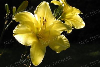 #046  Backlit yellow Daylilies