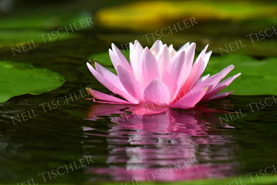 #1389  Pink water lily    Photographed on Damariscotta Lake in Maine
