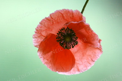 #876  A delicate red Poppy