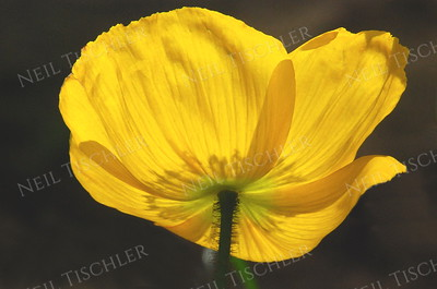 #848  A bright yellow Poppy