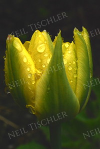 #894  A yellow Tulip bud, just starting to open