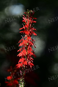 #986  Cardinal flowers add brilliant stalks of color to stream banks in spring