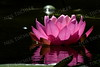 #1387  Pink water lily    Photographed on Damariscotta Lake in Maine