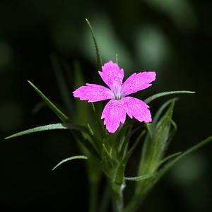 #1549  Deptford pink    07-06-18